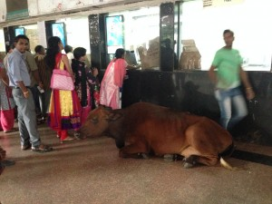Cow at Khar station
